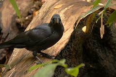 Crow in Autumn color (dolphin_dolphin) Tags: bird nature wow wonder topv333 crow autmn naturesgallery