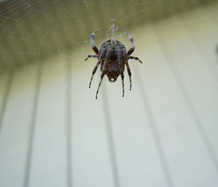 Spider (See El Photo) Tags: 15fav spider socal 1f faved top20spidersandwebs