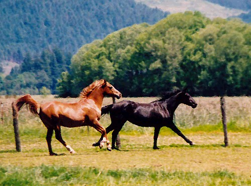 Royal (Chestnut Arabian Gelding) and Crystal (Black Quarter Horse Mare) in Motion
