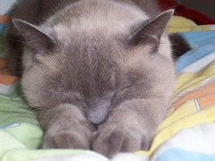 Happy Friday Cat! (Bibi) Tags: sleeping cute yoga cat grey gris chat fluffy lazy gato thisone gym preguia cinza rousseau