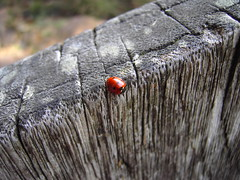 ladybird (mohawk) Tags: copyright plant flower art love home scale look gardens liverpool that photography see photo spring photographer with arte place good d no or kunst may insects s vegetable any sean been used have where surprise be mohawk ladybird organic beetles common adults 2009 larvae 08 wirral magie veiw magia aphids     limbert mgica magisch insecticides