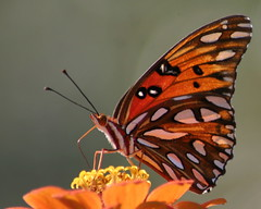 Autumn Light (Rebecca) Tags: autumn orange fall butterfly mississippi seasons display quality badge meridian gulffritillary grannyshouse eastcentralmississippi