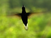 carf (zenog) Tags: rain chuva carf beijaflor humminbird fromthearchives porqueeugosto kissflower childrenatriskfoundation