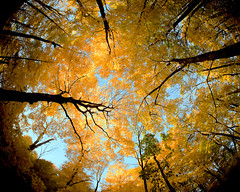 Wisconsin Canopy (Todd Klassy) Tags: autumn trees light sky plant color colour art fall classic nature beautiful leaves yellow horizontal wisconsin forest dark landscape outdoors leaf maple woods branch moody view angle artistic branches fineart wide large frombelow autumnleaves lookingup fisheye autumncolors foliage fairy bark backgrounds change environment canopy vignette wi overhead mothernature treetop fisheyelens bluemounds uphigh mounthoreb stockphotography wideanglelens naturalresources colorimage danecounty ruralscene treecanopy beautyinnature wisconsinstatepark circularview nonurbanscene deciduoustree manytrees lushfoliage departmentof descriptivecolor directlybelow autumninwisconsin middleofthewoods autumnphotography toddklassy treecanopybed