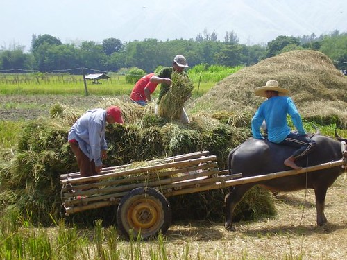 Philippines,Pinoy,Life,loading men harvesting harvest rice working farm farmer rural carabao  farming cart
