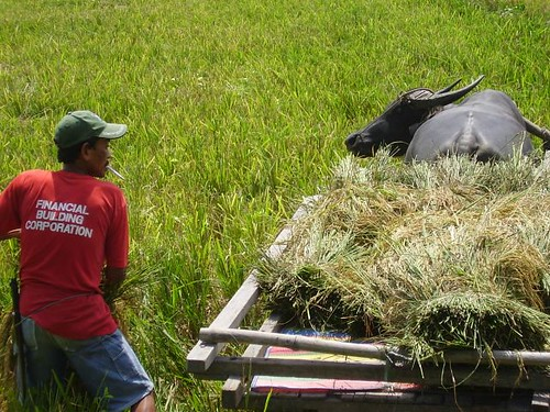 Philippines,Pinoy,Life,city,rural,rice,farm farming loading,harvest,carabao cart