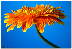 Gerbera Daisy. (Brenda-Starr) Tags: flowers blue orange colour nature topf25 canon catchycolors ilovenature flora bravo kitlens efs1855mm flowerthemes gerbera naturenutsblogspotcom canon350d daisy blogged canonrebel fengshui colourful excellence gerberadaisy