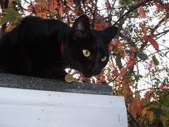 Black cat on shed roof