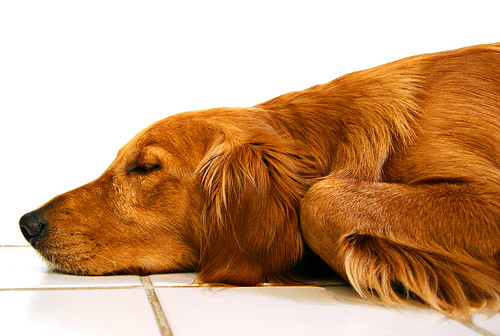 The trusting and spoiled Golden Retriever dreams away an afternoon