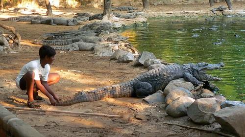 Tending Crocodiles I
