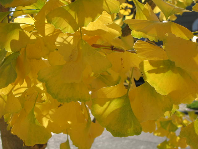 Ginkgo biloba leaves in Fall color - courtesy of Flickr user Rozanne