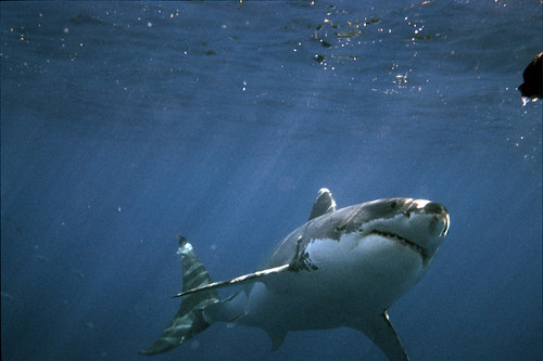 Great White Shark Going for the Bait in Guadalupe, Mexico