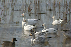 IMG_6385.jpg (wildorcaimages) Tags: snowgeese birds