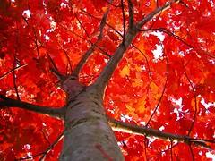 Flaming Red Oak (CaptPiper) Tags: autumn red fall oak bravo michigan naturesfinest supershot nikonstunninggallery abigfave fiveflickrfavs