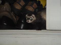 preta em flagrante (o que os olhos vem) Tags: ferrets preta