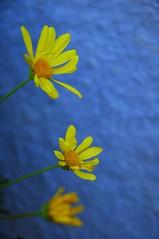 yellow flowers on blue house (Krates) Tags: flower yellow blue mc05negativespace guten