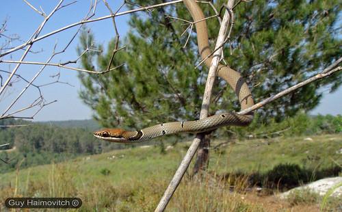 לוכד נחשים - Dahl's Whipesnake (Coluber najadum) זעמן זיתני
