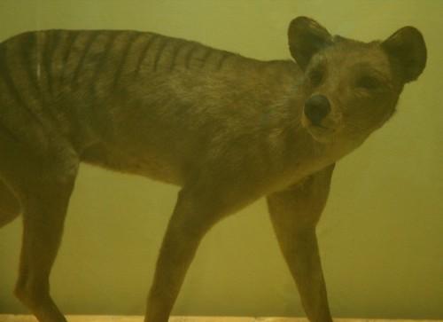 Smithsonian Thylacine