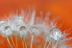 Drops on dandelion (!.Keesssss.!) Tags: flower nature water netherlands horizontal closeup outdoors photography day nopeople drop dandelion growth freshness gettyimages purity selectivefocus royaltyfree fragility theflickrcollection keessmans 0010ksgetty gettysales sales200912 kssoldonetime