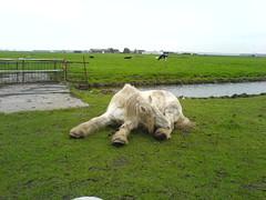 DSC00131 (Marjolijna) Tags: shire horse