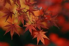 (rosemary*) Tags: macro 2004 nature topf25 leaves wow momiji 500plus20 1000v40f
