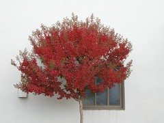 Red and White (Brave Heart) Tags: 2005 trees red white tree fall window leaves wall photo redwhite picture autumnleaves changing redandwhite redleaves redtree livermoreca themered