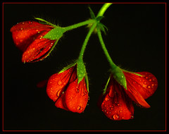 pelargonia (KASIACZEK) Tags: 2005 red flower rot blackbackground waterdrops blume geranium virg wassertropfen krople onblack pelargonia kwiat piros musktli geranie czerwony vizcsepp kasiaczek