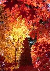 Momiji  (mboogiedown) Tags: travel autumn light shadow red orange color tree fall nature topf25 leaves topv111 japan forest asian outdoors kyoto asia haiku fallcolors traditional culture autumncolors   tradition    kansai   cultural nanzenji  sanzenin   yokoso   mapjapan    yokosojapan