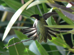 Strrrrrretch (jessicafm) Tags: hummingbird annashummingbird northamerica california novato november flight bird backyardbirds calypteanna wing feather feathery oleander perch leaves green iridescent