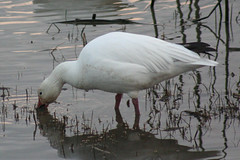 IMG_7639.jpg (wildorcaimages) Tags: snowgeese birds blueheron waterbirds