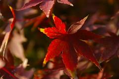 (titanium22) Tags: green nature leaf maple autumncolors momiji japanesemaple
