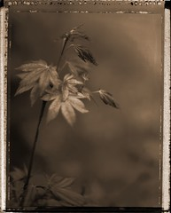 japanese-maple-neg1