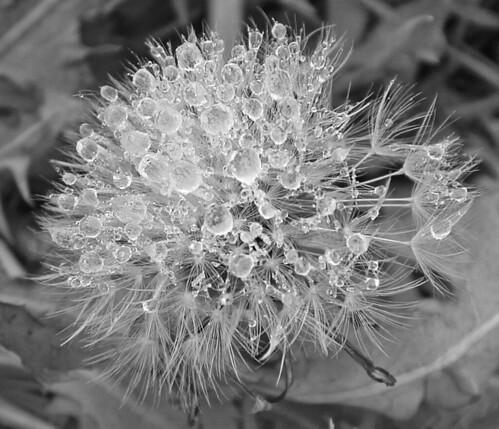 frozen dandelion in black and white