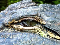 Crocodile Eye (raumoberbayern) Tags: eye water topv111 zoo spain topv555 topv333 findleastinteresting topv444 fv5 topv222 crocodile topv777 blatt teneriffa topv666 auge krokodil loroparque robbbilder topf5 zweig