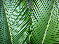 Pair of Fronds (cobalt123) Tags: linear green fronds plant lineplay catchycolors nature macro ilovenature phoenix arizona