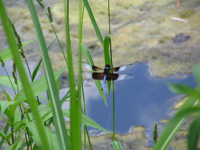Grassmere Dragonfly