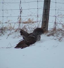 Great Grey Owl....looking for dinner (Aegolius) Tags: greatgreyowl stixnebulosa winter owl