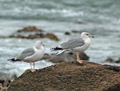 Gaivota-de-patas-amarelas (Larus cachinnans) Yellow-legged Gulls (Maria Rego) Tags: portugal birdsinportugal avesemportugal laruscachinnans yellowleggedgull larusmichahellis