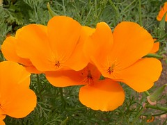 Eschscholtzia californica (Papaveraceae) II (Tim Waters) Tags: flowers plants oxford californianpoppy papaveraceae eschscholtzia californianpoppies