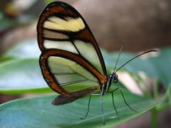 (Samuel Roberto) Tags: macro nature topf25 butterfly bug insect ilovenature topv555 topv333 topc50 topv444 topv222 explore interestingness3 explore2