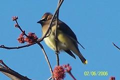 100_0382 (momrap52) Tags: birds cedar waxwings screensavers