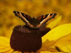 Butterfly Banff (Buhduh) Tags: flower moth banff blackeyedsusan
