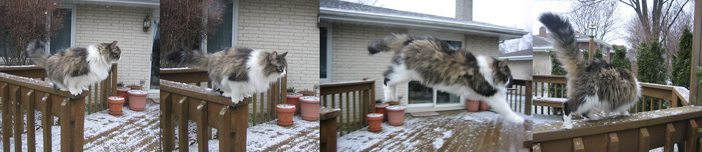 missy my beloved longhaired jumping cat