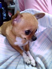 33 (San-san) (Chrischang) Tags: dog chihuahua 33