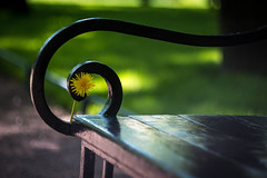 torn dandelion (JZ_Band) Tags: city travel flower yellow garden bench square dandelion helios