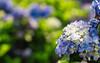 20150530-DSC07973 (sigma9988) Tags: flower 50mm f14 taiwan yang taipei hydrangea shan ml yashica 陽明山 blooming mung 紫陽花 macrophylla 繡球花 八仙花 大梯田