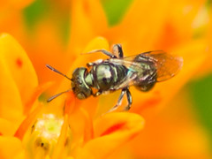 (treichard) Tags: animals unitedstates maryland insects places highlights northamerica noid edgewater annearundelcounty phylumarthropoda classinsecta orderhymenoptera smithsonianenvironmentalresearchcenter beesp beesantsandwasps apoideasp 201506smithsonianenvironmentalresearchcenterbugblitz