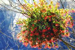 Quintral / Wild Flowers / Chile (Leon Calquin) Tags: chile flowers wild flores composition flickr photos leon fotos catalog diseo videos imagen catalogo portafolio proyecto composicion figura silvestres calquin leoncalquin quintral quincal