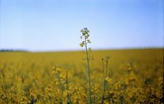 fields o' gold ** (john grzinich) Tags: field vintage soviet agfavista100 rapeseed zenit3m helios442 epsonv500