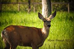 It's Bambi! (Nio David) Tags: canada wildlife deer alberta bleh albertacanada waterton watertonlake albertawildlife